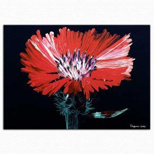 Dagmar Göğdün Karanfil dianthus