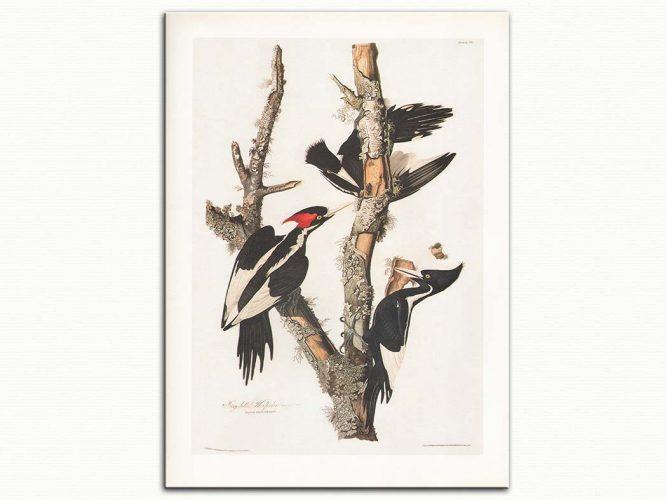 John James Audubon Ağaçkakan
