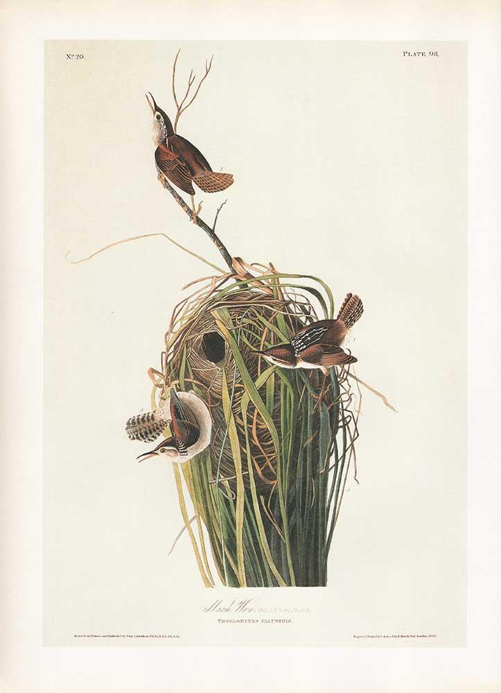 John James Audubon Çalıkuşu