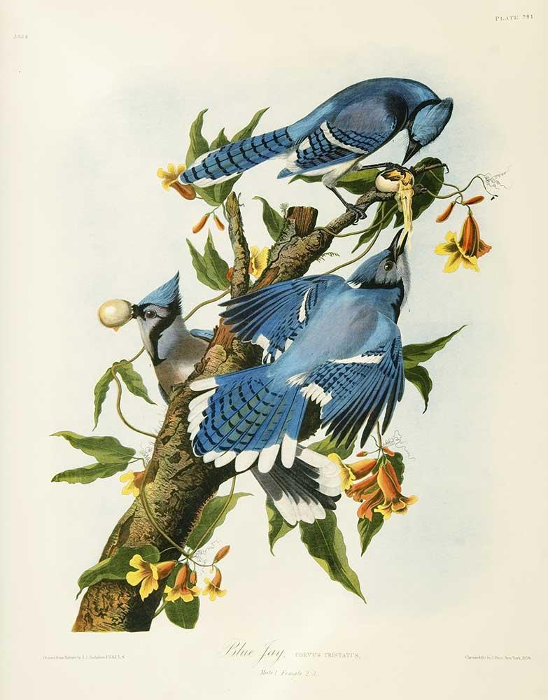 John James Audubon Mavi Sakalar