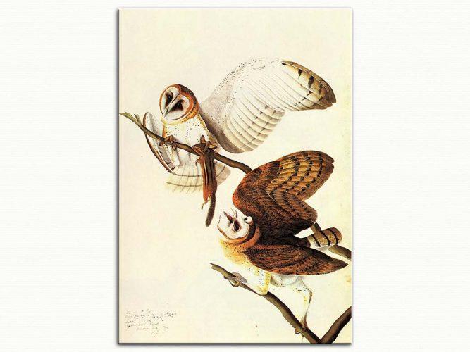John James Audubon Peçeli Baykuş