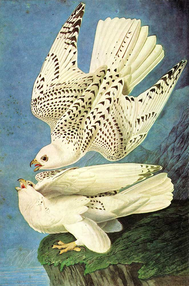 John James Audubon Şahinler