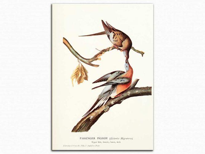 John James Audubon Yolcu Güvercin