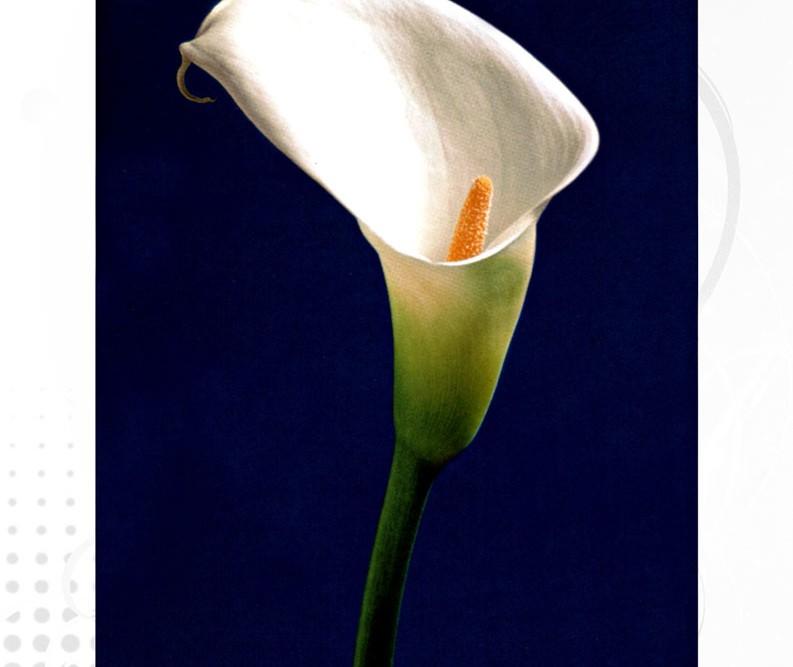 Beyaz Gala Çiçeği Calla Lily