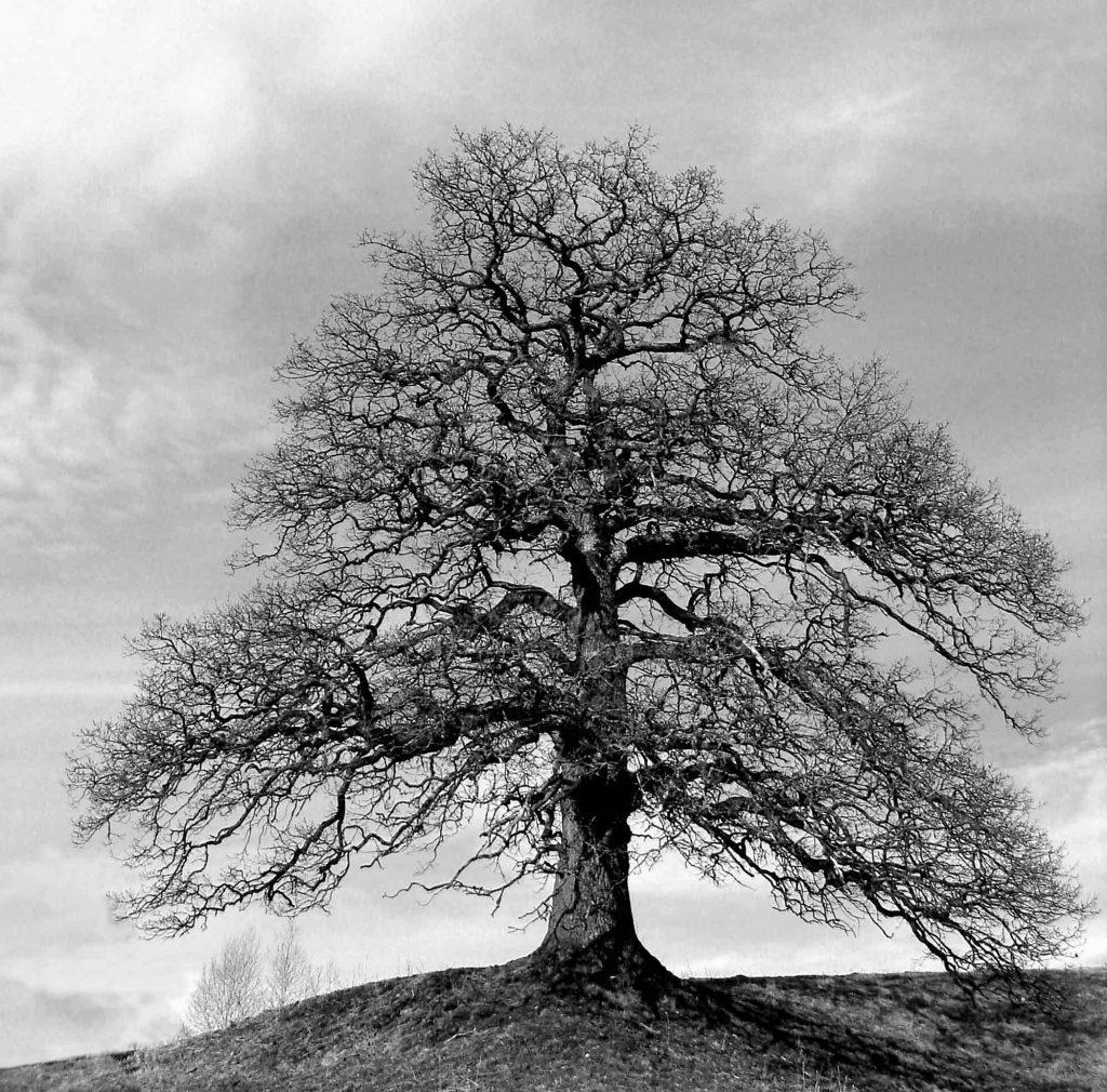 Ansel Adams, Yalnız Ağaç