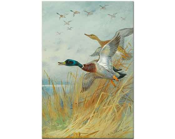 Archibald Thorburn Havalanan Yeşilbaşlı Ördekler