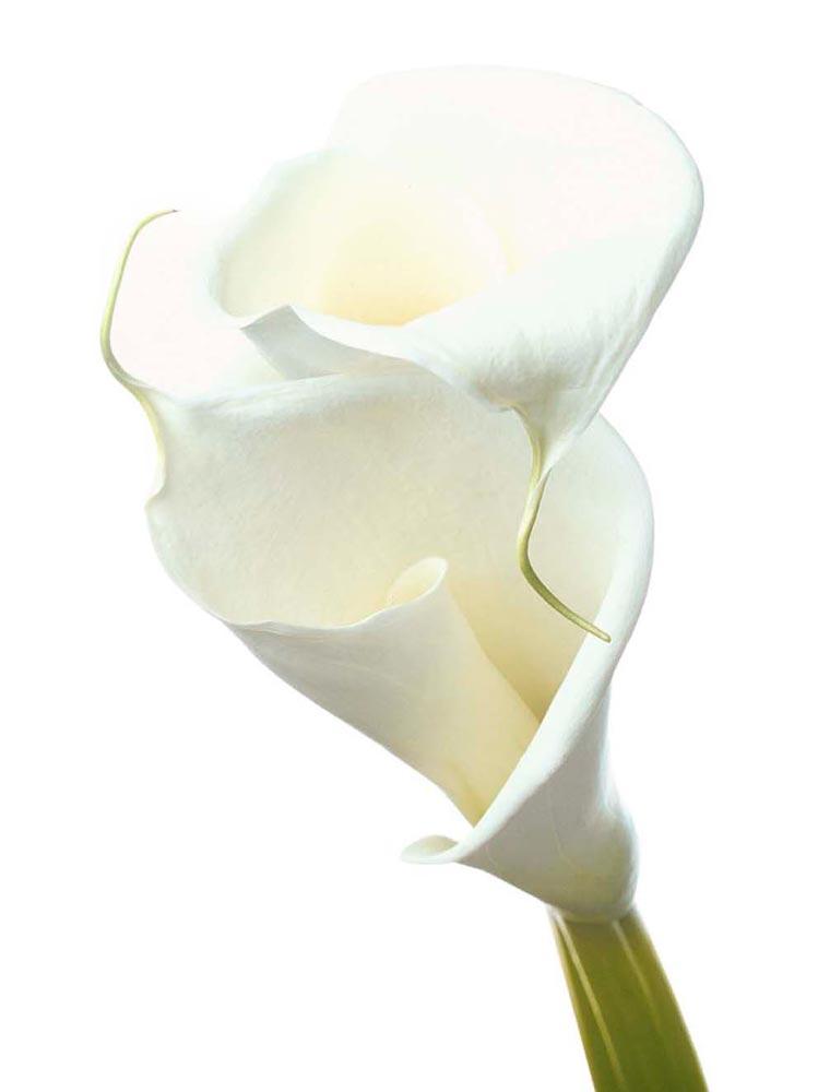 Calla Lily Beyaza Beyaz Gala