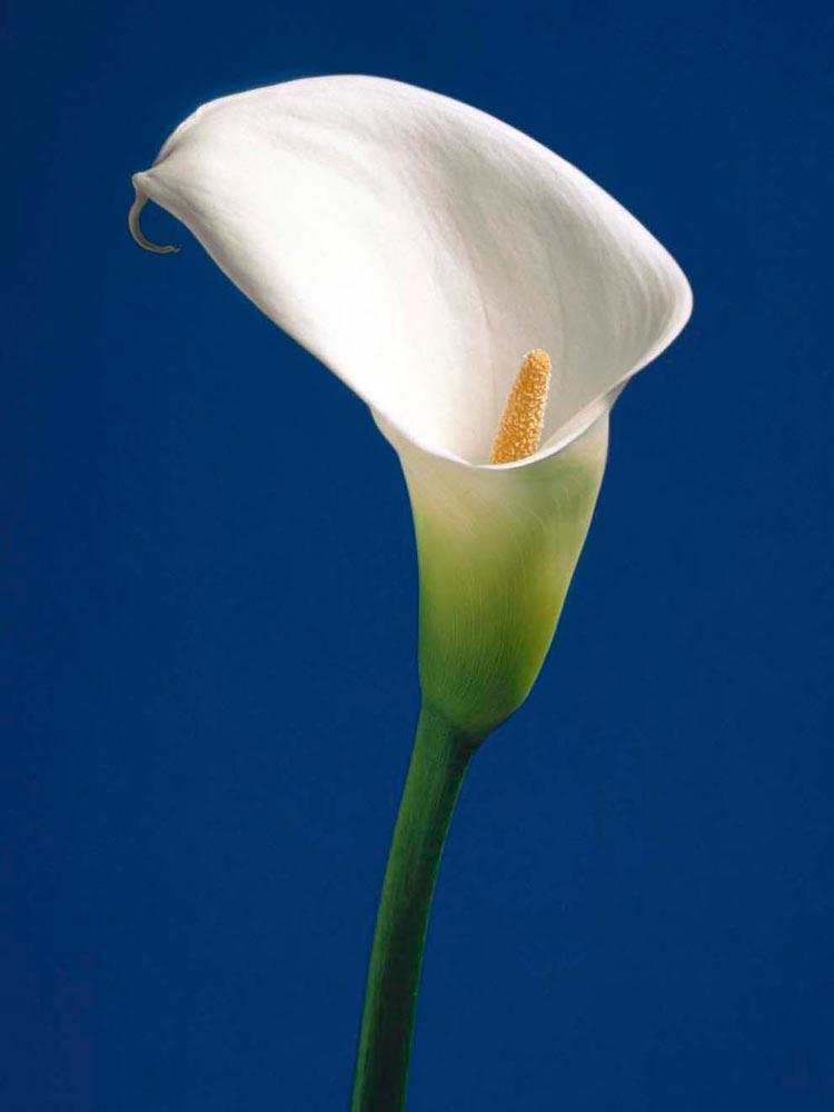 Calla Lily Mavide Gala Çiçeği 01