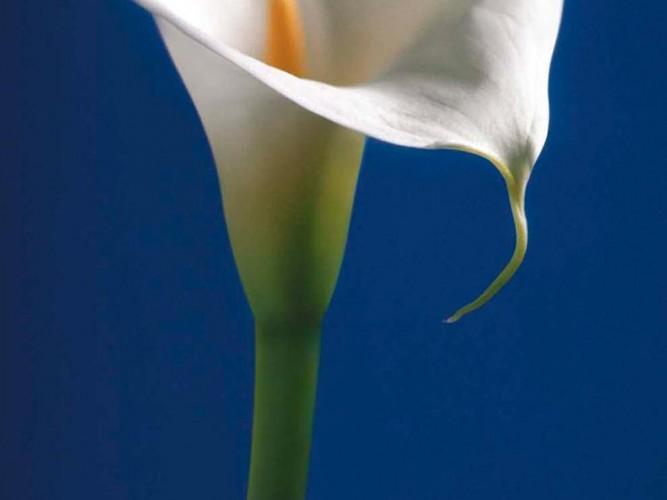 Calla Lily Mavide Gala Çiçeği 02