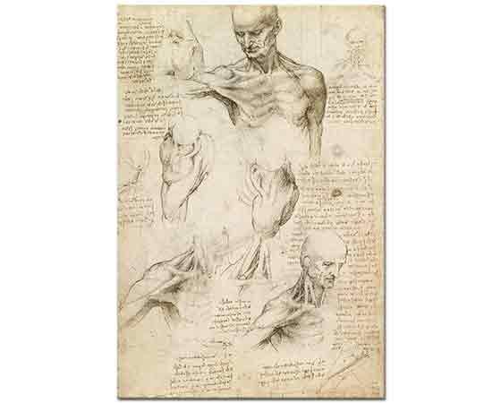 Leonardo Da Vinci Anatomi Etüdleri ( Erkek Omuz)