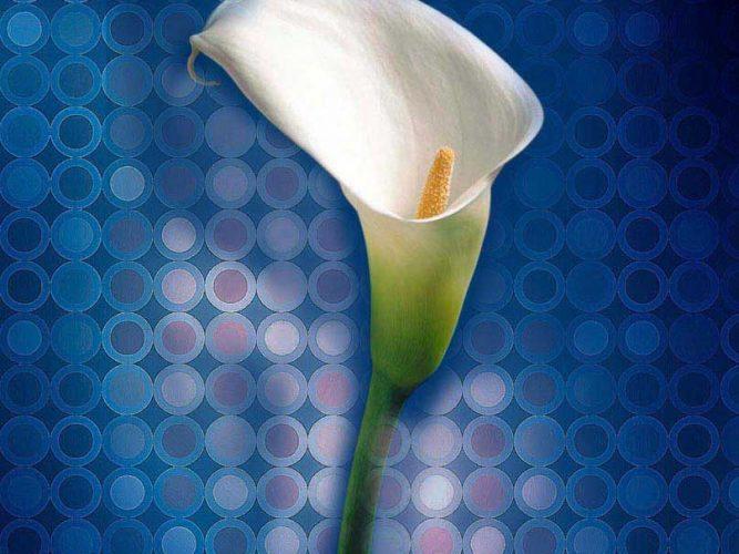 Gala çiçeği kompozisyon calla lily