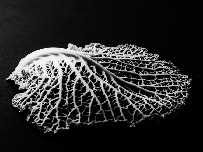 Edward Weston yaprak detayı