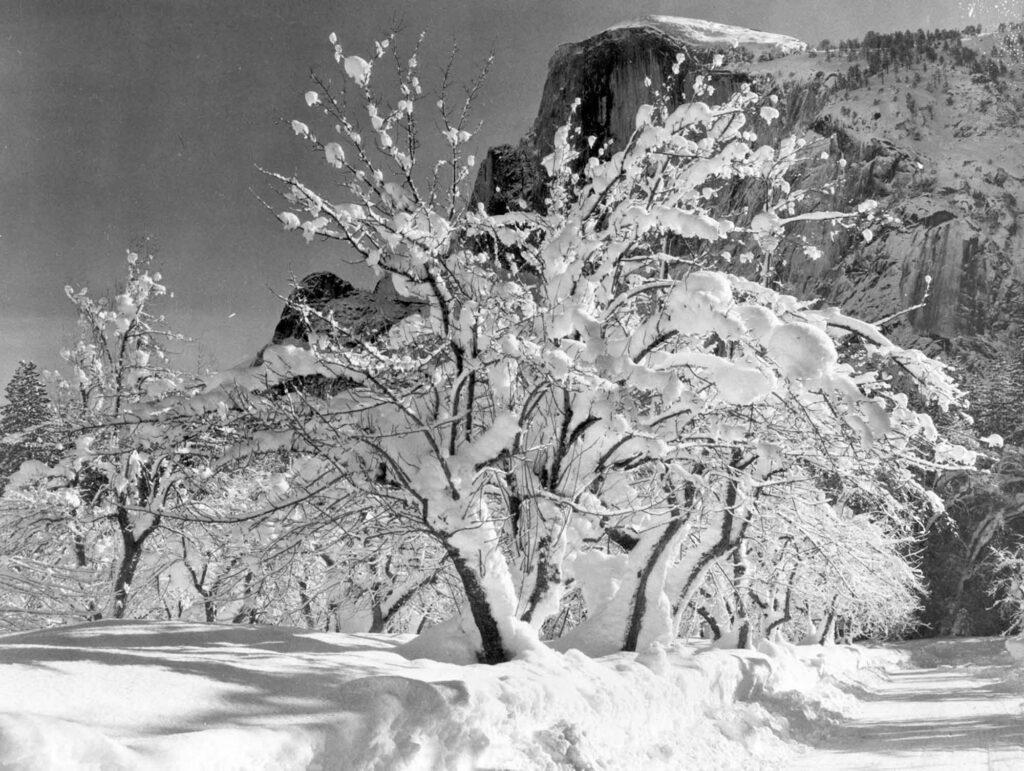 Ansel Adams Elma Ağacı Yosemite